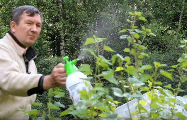 обработка смородины