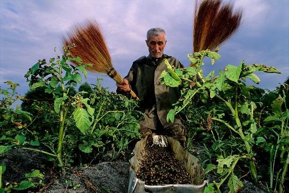 собрать жуков на картошке